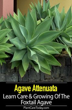 Garden Drawing Agave Attenuata Care: Learn To Grow The Fox Tail Agave.Garden Drawing Agave Attenuata Care: Learn To Grow The Fox Tail Agave Agaves, Agave Attenuata, Urban Garden Design, Rock Garden Design, Indoor Gardening Supplies, Container Gardening, Balcony Gardening, Terrace Garden, Garden Beds