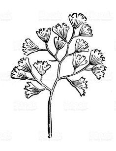 Antique illustration of Adiantum capillus-veneris (Southern maidenhair fern) royalty-free stock vector art