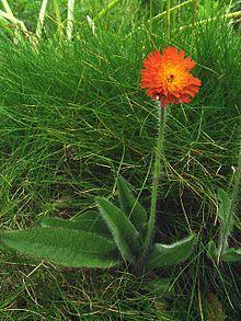 Pilosella aurantiaca - Wikipedia, the free encyclopedia