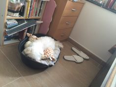 Small bedroom ideas Maltese, Bedroom Ideas, Puppies, Animals, Cubs, Animales, Animaux, Animal, Animais