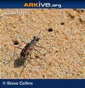 Tiger beetles are named for their tiger-like hunting behaviour – they will chase down and capture prey in their large mandibles.