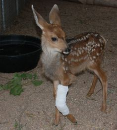 Mule deer doe fawn about 2 weeks of age. Swelling on her leg has gone down but there is tendon or nerve damage that will take time to heal.
