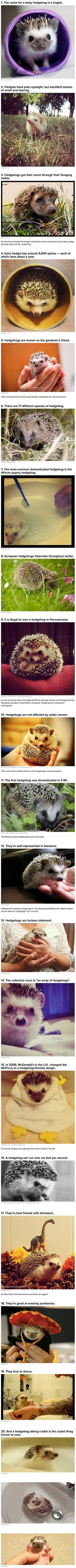 Here are some strange, yet true, things you may not have known about hedgehogs.: