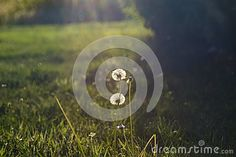 Photo about Dandelion flower close up and bokeh in the background. Image of beautiful, field, flower - 99736161 Flower Close Up, Bokeh Lights, Dandelion Flower, Photography Portfolio, Beautiful, Flowers, Image, Royal Icing Flowers, Flower