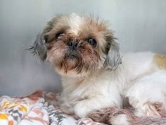 TRINA – A1126800 **OWNER SUR- NEW BABY**  10 YRS OLD-  FEMALE, WHITE / BROWN, SHIH TZU MIX  GERIATRIC  Manhattan 09/27/2017