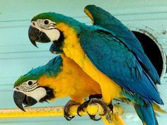 perroquet   Guadeloupe Photos Animaux divers - Dans les Parcs Perroquets