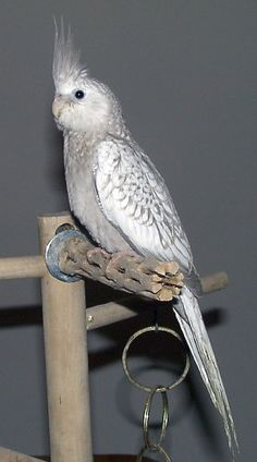 Cinnamon Pearl Whiteface. Favorite cockatiel mutation