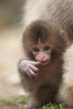 So badly do I want a pet monkey