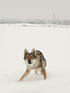 Czechoslovakian Wolfdog...I WILL own you one day