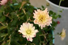 Park, Chrysanthemum, Flower, Autumn, Plant #park, #chrysanthemum, #flower, #autumn, #plant