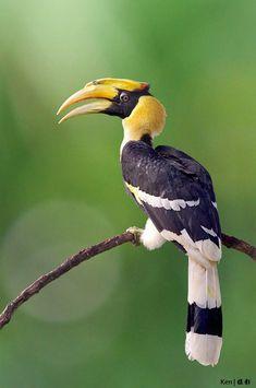 Great Hornbill(Buceros bicornis)bykengoh8888