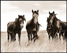 The wild horses of Sable Island.