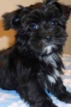 Want to know what Morkie dogs look like? View Maltese Yorkie pictures and read stories about real Morkie dogs. Havanese Puppies, Cute Puppies, Cute Dogs, Dogs And Puppies, Yorkies, Maltese Dogs, Maltipoo, Animal Gato, My Animal