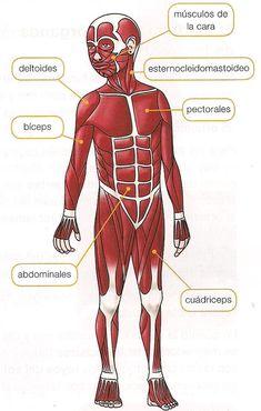 Resultado de imagen de sistema muscular para niños