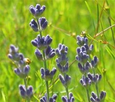 Lavender has been used effectively for years for burns.