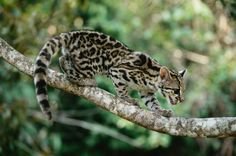 Gato-maracajá (Leopardus wiedii)  Escalador e saltador ágil, o gato-maracajá é muito bem adaptado à vida nas árvores das florestas, onde ficam suas principais presas. Possui uma cauda longa que serve de contra peso quando pula de galho em galho, garras grandes que melhoram a aderência em troncos e pode saltar 2,5 metros para cima em um único impulso.