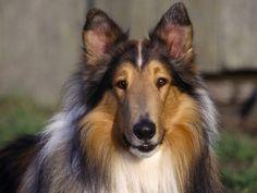Teneri cuccioli Notizie: Pastore scozzese a pelo lungo/LEGGI
