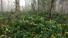 WWOOFing at The Green Gardens, Wayanad Flowering phase in coffee plants.