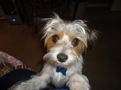 Jack Russell / Yorkie Mix