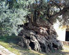 Located in Israel - the oldest known olive tree on Earth, with a tree ring age of at least 2,000 years. Carbon daters have estimated it to be about 4,000 years old. It is 15 feet thick at the base. The trunk is magnificently swirled, knotted, and bulbous. This one may be the tree Pliny the Elder (23-79 AD) wrote of when mentioning a sacred Greek olive tree 1,600 years old.