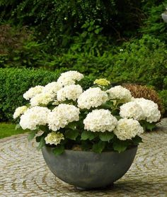 Backyard Garden With Potted White Hydrangeas , Caring Tips For Potted Hydrangea Plants In Kitchen Category Container Gardening, Gardening Tips, Cauliflower, Indoor Plants, Growing Vegetables, Fruit, Food, Pointers, Stylus