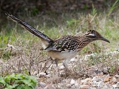 Greater Roadrunner.  A ground-dwelling cuckoo, it feeds on snakes, scorpions and other small animals.