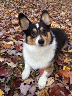 Kipper the Corgi Dapple Dachshund, Dachshund Puppies, Corgi Dog, Cute Dogs And Puppies, Chihuahua Dogs, Wiener Dogs, Pet Dogs, Corgi Pictures, Cute Dogs Breeds