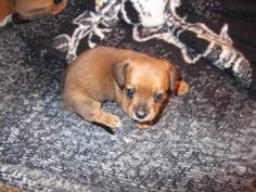 This is how my Chiweenie looked when she was a puppy!