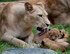 It must be bath time! A mother lioness gives her new-born cub a playful lick, but these kiddos don't look too excited about it.