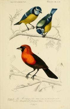 gravures couleur d'oiseaux - Gravure oiseau 0187 mesange bleue - parus caeruleus - passereau - Gravures, illustrations, dessins, images