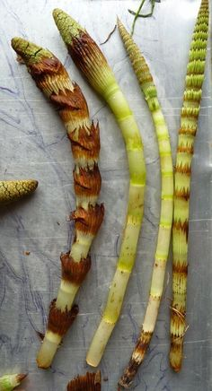 Wild Harvests: How to eat a Horsetail