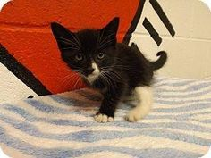 FCAC # 2349 DSH FEMALE BLACK & WHITE OR TUXEDO KITTEN I AM 9 WEEKS OLD!!! MY SIBLINGS ARE #2344,2345,2346,2347,2350!!  AVAILABLE FOR ADOPTION & RESCUE NOW!!  These babies are located at Floyd County Animal Control, 431 Mathis Road,Rome, GA 30161.  Phone: 706-236-4545 or 706-236-4537 Fax: 706-233-0032   Office Hours:   Mon, Tues, Thurs & Fri - 10am - 6pm Wed - CLOSED  Sat and Sun - 1pm - 5pm