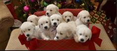 Christmas White Golden Retriever Puppies.