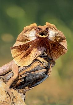 Frill-Necked Lizard is native to Australia and New Guinea