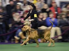 A bloodhound named Flessner's International S'cess, or Nathan, runs around the ring at the Westminster Kennel Club show in New York, Monday, Feb. 16, 2015. The show starts Monday morning and, to the owners of the 2,711 pooches set to take part, it's the Super Bowl, World Series and Daytona 500 of dogdom in the United States, one giant bark in the park. (AP Photo/Seth Wenig)