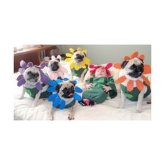 pugs in costume found on Polyvore