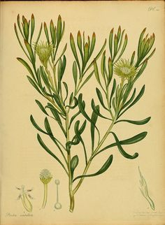 The botanist's repository, for new, and rare plants. Printed by T. Bensley, and published by the author, London, 1797