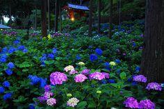 Hydrangeas forest...