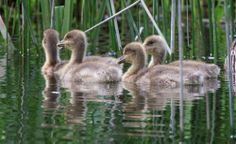 Signs of new life are making an appearance at Charlecote Park, Warwickshire.  Thank you again to Jana Melichar for this picture of the lovely goslings. May 2014