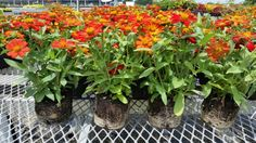 70 mm Zinnia Zahara Scarlet Zinnias, Live Plants, Scarlet, Scarlet Witch