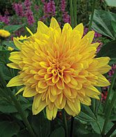 love dahlias....haven't had much luck with growing these though....grrrr