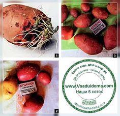 выращивание картошки рассадой