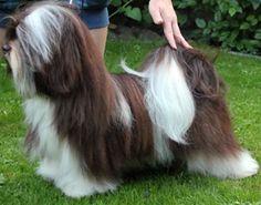 "Havanese - A Maiden Effort's Schoggi Bear ""O'Boy"" (Chocolate-and-white) | Zodiaka 'la Star's Kennel"