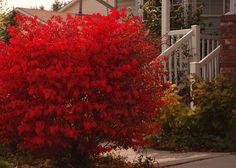 Burning Bush-plant behind azaleas for dramatic effect