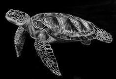 Sea Turtle  Ink Drawings by Tim Jeffs (born Timothy James Jeffs, 1965)