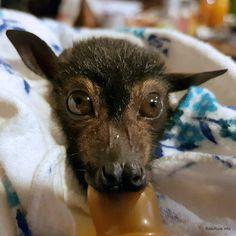Rehab | Megabat babies Spectacled in care Flying-fox fruit bat