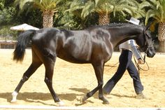 "The Hispano-Árabe has been bred in Andalusia since 1800. The current breed standard was published in 2002, and modified in 2005. At the end of 2010, a total of 5835 horses were registered, of which approximately 60% were in Andalusia. The breed is considered a ""Raza Autóctona en Peligro de Extinción"", or autochthonous breed in danger of extinction. GHANDARA hispano Árabe(Há)"