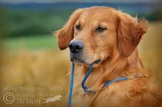 Captured many of these images of Goldies during training with a local dog trainer, Dawn, who has kindly invited me along for the last couple of years...
