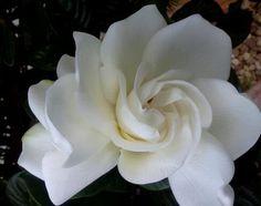 Gardenia Amiee hometalk-gardening