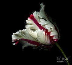 La fotografía del tulipán del loro - blanco y rojo del tulipán por Oscar Gutiérrez
